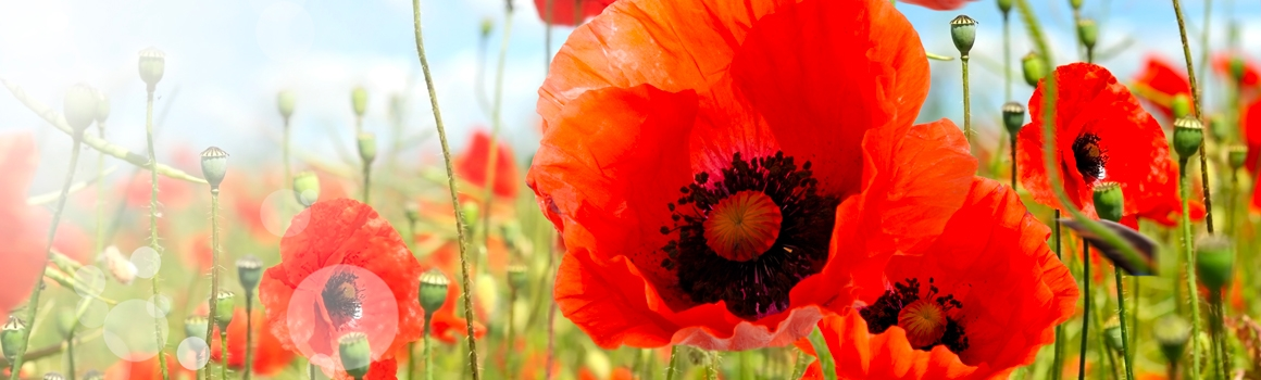 coquelicot plantes et ingredients